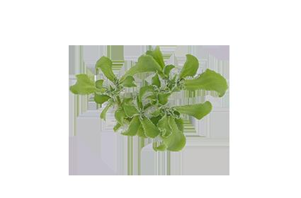 Crystalline Ice Plant
